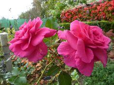le jardin de marianne: roses d'automne