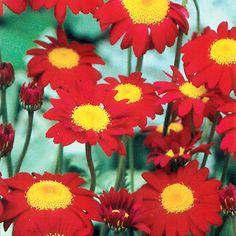 dipladenia mandevilla blumens ule garden garten pinterest berwintern pflege und pflanzen. Black Bedroom Furniture Sets. Home Design Ideas
