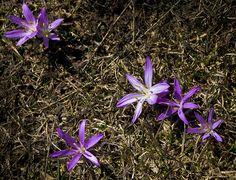 SBA73 posted a photo:  A tot el Pla d'Anyella, prop de La Molina, vaig veure aquestes flors sorgint d'arreu on ja no hi havia neu. Algú sap com es diuen?  ==============================================  Beautiful mountain flowers in the Catalan Pyrenees, at 1800 m. above sea level. Anyone knows it's name?