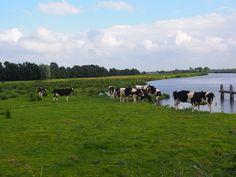 land met koeien bij oostermeer. Friesland. bayke foto.