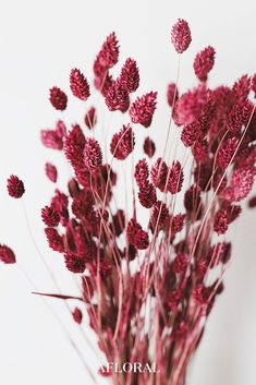 Add some rich color to your dried flower arrangements with this beautiful pink burgundy dried phalaris grass. Perfect to add to country wedding bouquets for gorgeous color and texture! - Berry Wine - Tall x 1 Blooms - 4 oz Bunch - Dried and Dyed Dried Flower Bouquet, Flower Bouquet Wedding, Dried Flowers, Silk Flowers, Paper Flowers, Dried Flower Arrangements, Beautiful Flower Arrangements, Beautiful Flowers Garden, Wedding Arrangements