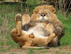 Here we see lion balls. Not as big aa you'd expect from a cat. Animals And Pets, Funny Animals, Cute Animals, Zoo Animals, Wild Animals, Beautiful Cats, Animals Beautiful, Wildlife Photography Tips, Gato Grande