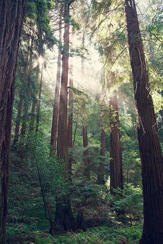 TITLE: Filtered Light DESCRIPTION: Filtered Light in the redwood trees of Muir Woods outside San Francisco, California.