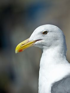 """500px / Photo """"Portrait of a Gull"""" by Eric Leblond"""