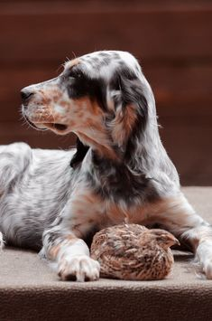 Dog Lover Quotes, Dog Lovers, English Setter Puppies, Hunter Dog, Hunting Dogs, Beautiful Dogs, Dogs And Puppies, Doggies, Best Dogs