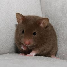 Baby Syrian Hamster. Totally heartbreakingly gorgeous xx - #criceto dorato o Siriano #cioccolato #colour #colore  for a pet #companion adopt. ` ♡