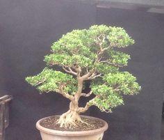 Boxwood Boxwood Bonsai, Buxus Sempervirens, Pictures, Plants, Art, Dwarf Trees, Female Dwarf, Photos, Art Background