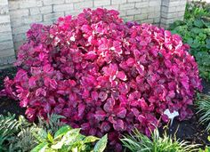 Bloodleaf is the common name for #plants called Irisine, because of their colored leaves. HousePlant411.com