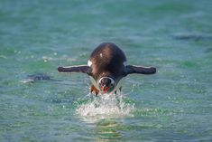 Why can't penguins fly? Gentoo Penguin, King Penguin, Mind Up, Arctic, Underwater, Survival, Muscles, Bodies, Wings