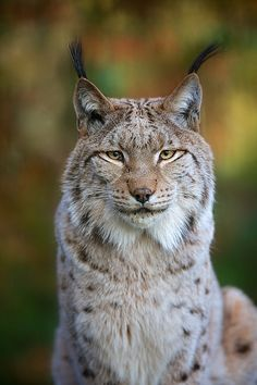 A happy Lynx (from generalstussner on Flickr)