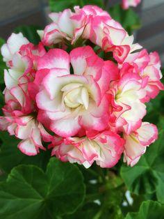 Geranium Angel Bouquet
