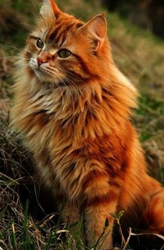 Orange Main Coon