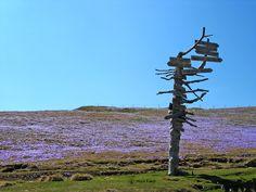 saffron fields in the spring, Big mountain (Velika Planina)