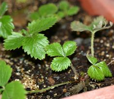 Alpine strawberry - How to grow & care