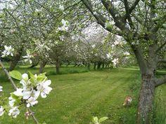 ¿Te imaginas pasear bajo una nube de aromaticas flores blancas?  #Coto del Pomar #Asturias