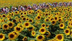 The peloton makes its way past fields of sunflowers during stage 11 of the 2009 Tour de France from Vatan to Saint-Fargeau-Ponthierry on July 2009 in Vatan, France. France 4, Ville France, Paris France, Stage, Wine Vineyards, New Bicycle, Sunflower Fields, The Good Place, Scenery