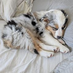 More About The Aussie Puppy Grooming Australian Shepherd Tips Source by The post Australian Shepherd Tips appeared first on McGregor Dogs. Australian Shepherd Puppies, Aussie Puppies, Cute Dogs And Puppies, I Love Dogs, Doggies, Miniature Australian Shepherds, Aussie Shepherd Puppy, Puppies Tips, Puppy Grooming