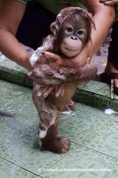 A bathing baby orangutan