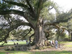 Beautiful live oak in Audobon Park, NOLA