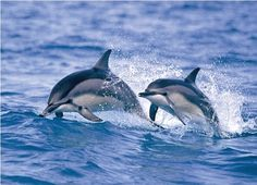 the spinner dolphins will greet you coming from Maui to Lanai, Hawaii Baby Animals, Cute Animals, Lanai Island, Killer Whales, Whale Watching, Hawaii Travel, Hawaii Hawaii, Hawaiian Islands, Dolphins