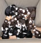 This is actually all one litter of Springer Spaniels!