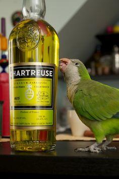 A chartreuse color parrot ...it's amazing !