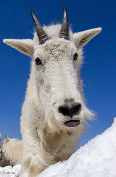 Mountain Goat Making Face