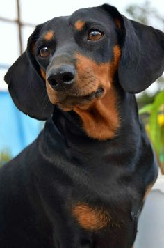 Check out image on Dachshund Puppies, Cute Dogs And Puppies, Sausage Dog Puppy, Sausage Dogs, Winnie Dogs, Doberman Pinscher Puppy, Black And Tan Dachshund, French Dogs, Miniature Dachshunds