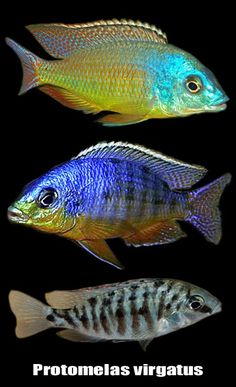 Need a gift for a coffee lover✩ Stop searching and get inspired now! Malawi Cichlids, African Cichlids, Flora Marina, Cichlid Fish, Fishing Pictures, Pet Fish, Underwater Life, Coffee Lover Gifts, Practical Gifts