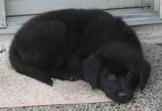 lab aussie puppy