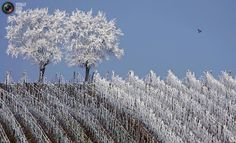 Amazing frosted vineyards in the Alsace region countryside near Strasbourg, France