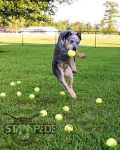 Australian Cattle Dogs LOVE Playing With Balls, And They Can Really Catch Some Air!!