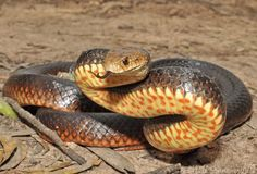 Northern Brown Snake (Pseudonaja nuchalis)