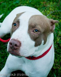 NOEL...HOUSTON, TEXAS...Meet Noel a Petfinder adoptable Pit Bull Terrier Dog | Houston, TX | Hi, my name is Noel and I am a true Christmas miracle! I was found laying near a dump site,...