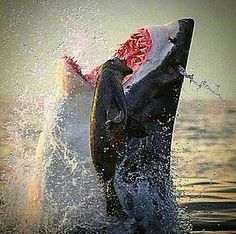 The great white shark! If mother nature gave me a choice to pick any animal to be I would be a Great White Shark!!! A Living Legend!