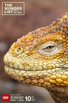 The Galapagos Land Iguana is one of the many animals that call the Galapagos Islands home. See them all when Bill Weir takes you to a place very few people get to visit. The Wonder List with Bill Weir– starting Sunday, March 1, 2015 at 10pm ET on CNN (Photo by Philip Bloom)