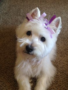 Westies that face , I love that face Maggie 2014