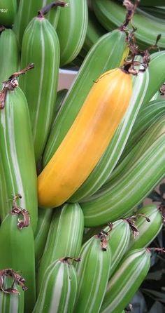 LISTRADO bananeira (Musa a'e a'e )É é uma variedade maoli de bananas no Havaí. variedade de banana é rara Esta variedade tem folhas coloridas, verdes e brancos, e alguns até têm margens de-rosa em seus pecíolos essa variedade é muito exigente quanto ao solo e clima precisa de algum cuidado especial para se desenvolve:... solo ácido ( pH 6.0 ou inferior), meia sombra e proteção contra ventos fortes e para evitar a secagem e sol ardente.