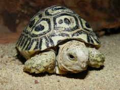 Zoo Prague rang in the New Year with the hatching of six baby Leopard Tortoises. Ah cute!