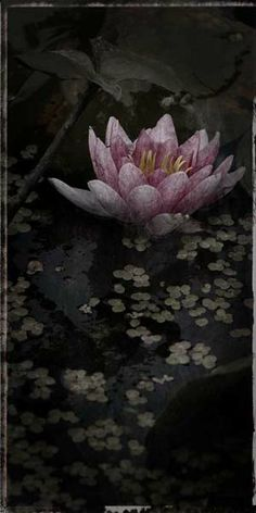 """Flowers in Neutral Moment-2014 """"Nymphaea(Water lily)-#2"""" Archival pigment print Photo by Soichi Oshika"""