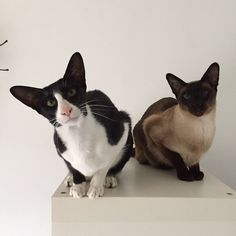 Beautiful Oriental Bicolor and Siamese cat
