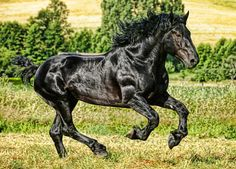 The Percheron....one day...one day:)