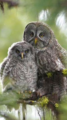 Great Grey Owl and her owlette