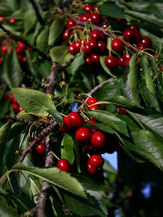 Le ciliegie sono mature! | #organic #organicfood #biologico