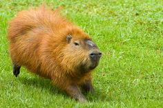 Capybara, Rabbit Hutches, Brown Bear, Bunny Rabbit, Photo Contest, Guinea Pigs, Animal Kingdom, Your Pet, Monkey