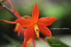 Orchid: Macro of Prosthechea vitellina