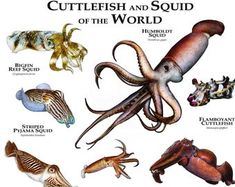 Items similar to Cuttlefish and Squid of the World Poster Print on Etsy Humboldt Squid, Grouper Fish, Cuttlefish, Art And Illustration, Art Illustrations, Oceans Of The World, Ocean Creatures, Animals Of The World, Wildlife Art