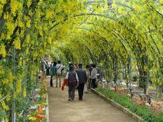 Kibana Wisteria Tochigi Ashikaga Flower Park Tokyo Ashikaga Wisteria Wisteria Tree