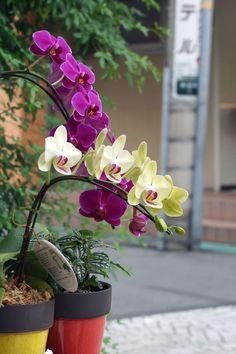鎌倉 御成町にて。 本日お花屋さんが主張販売中してくれています。 蘭綺麗ですね。