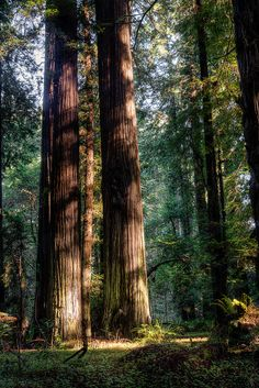 Parents and child    bklynmed:        Twins, The Redwoods, California        photo via besttravelphotos